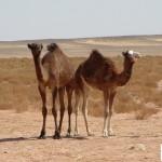 Saharawi-1-1024x768