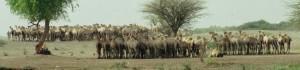 X15 Tessoma - camel waiting