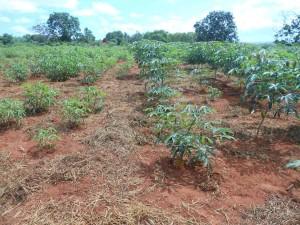campo con piante di cassava