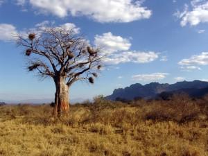 baobab-1029082_1280