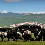 yak-Tibet-2016
